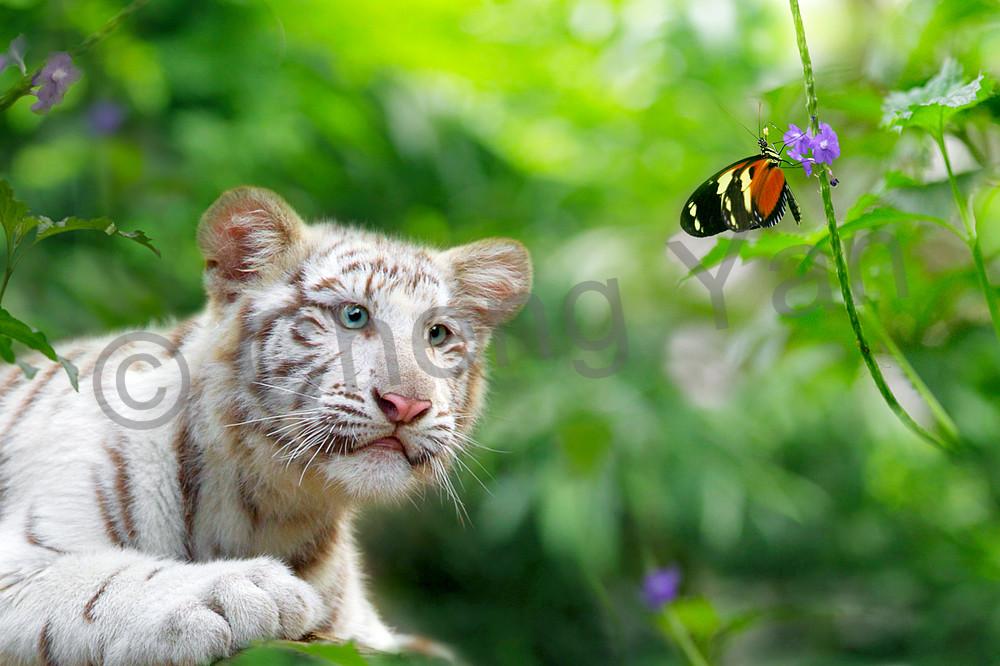 tigers-012