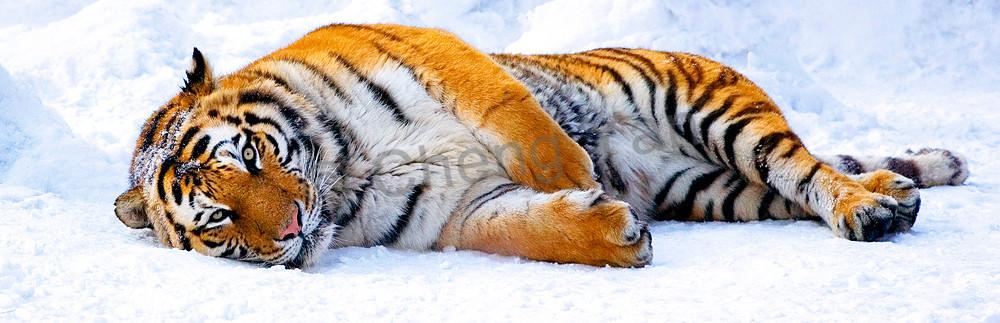Tigers 020 Photography Art | Cheng Yan Studio