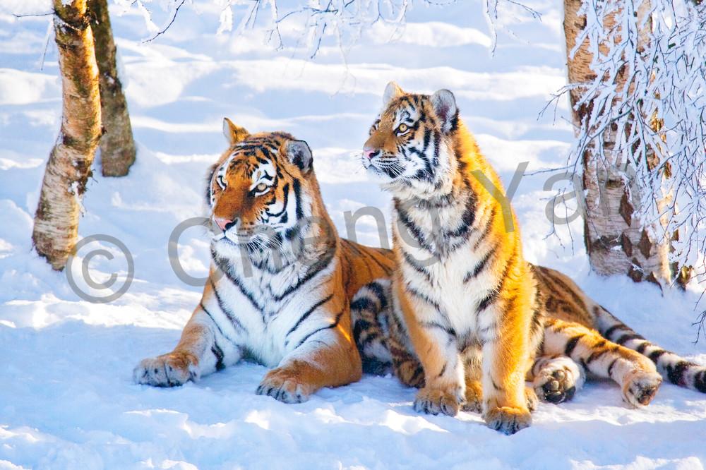 Tigers 061 Photography Art | Cheng Yan Studio