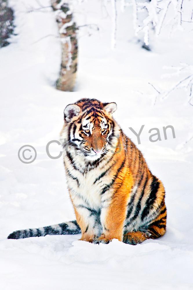 Tigers 083 Photography Art | Cheng Yan Studio