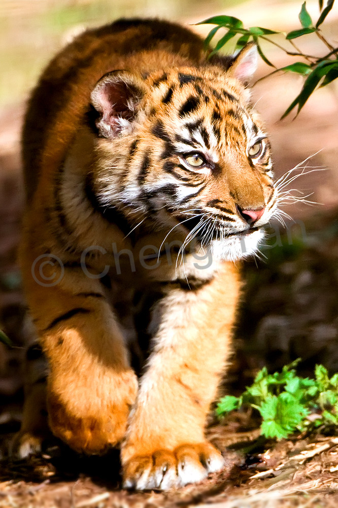 Tigers 086 Photography Art | Cheng Yan Studio