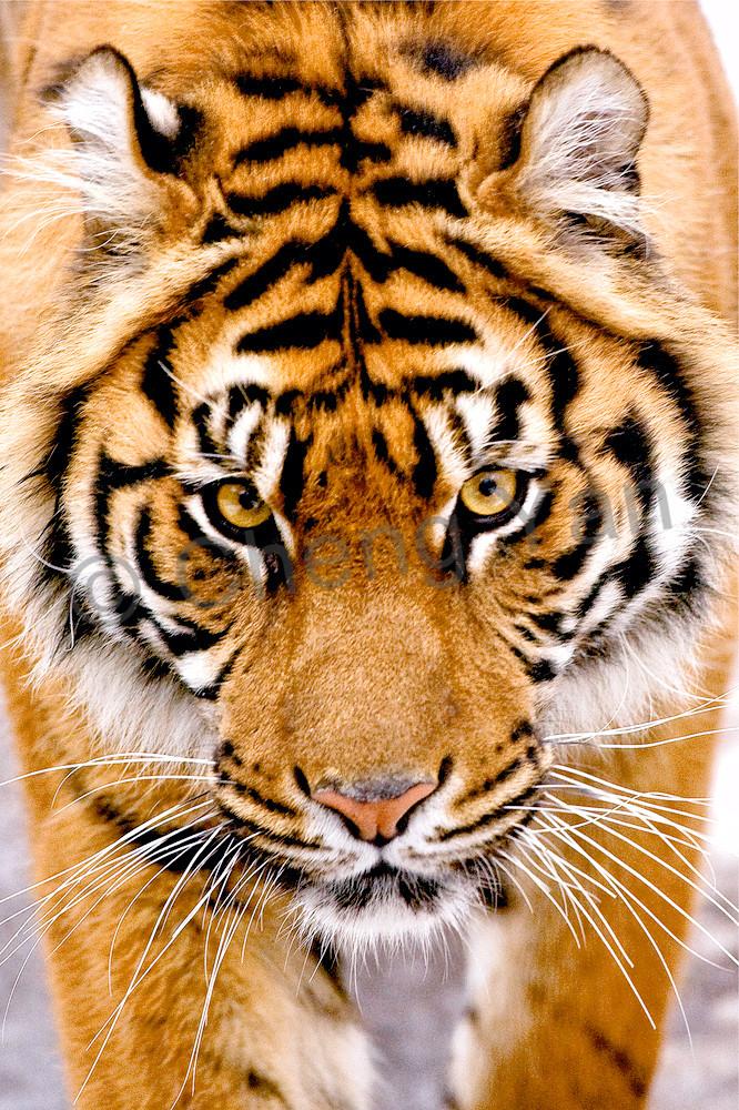 Tigers 087 Photography Art | Cheng Yan Studio