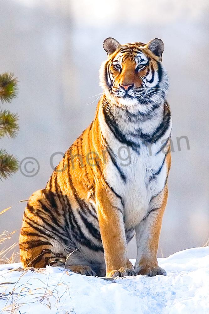 Tigers 093 Photography Art | Cheng Yan Studio
