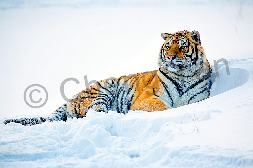 Tigers 098 Photography Art | Cheng Yan Studio