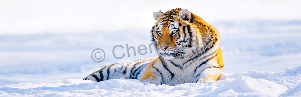 Tigers 103 Photography Art | Cheng Yan Studio