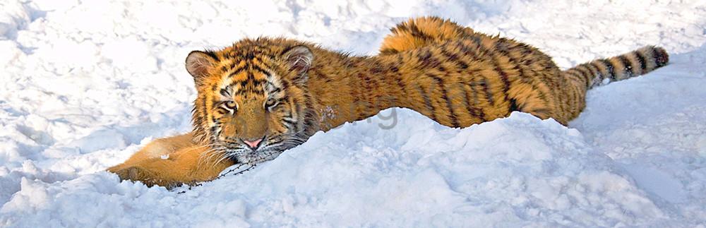 Tigers 101 Photography Art | Cheng Yan Studio