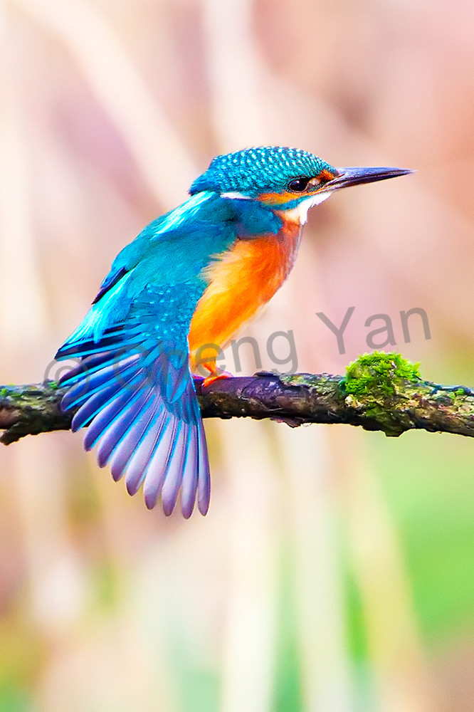 Kingfishers 001 Photography Art | Cheng Yan Studio