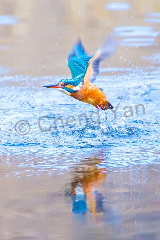 Kingfishers 002 Photography Art | Cheng Yan Studio