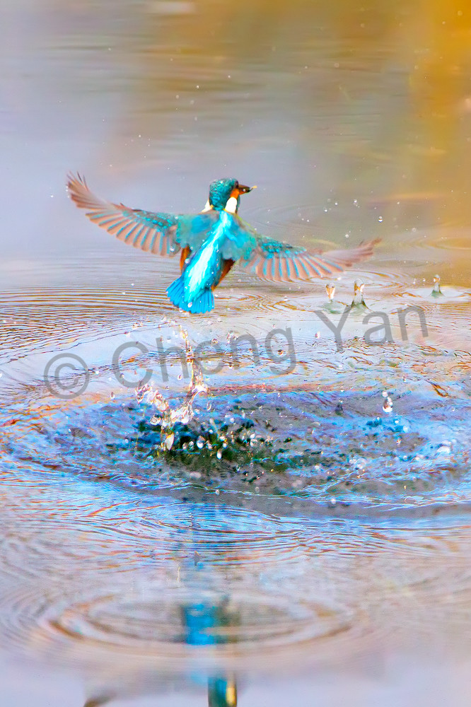 Kingfishers 007 Photography Art | Cheng Yan Studio