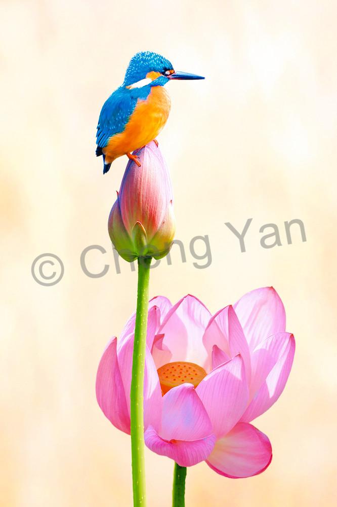Kingfishers 011 Photography Art | Cheng Yan Studio