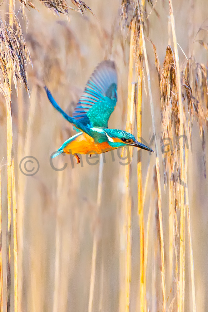 Kingfishers 009 Photography Art | Cheng Yan Studio