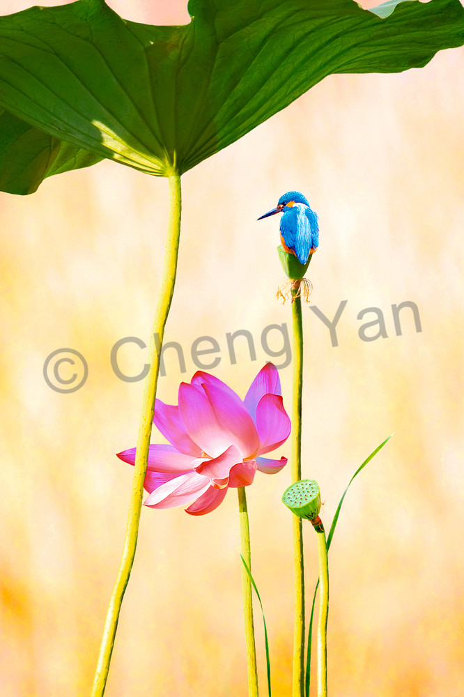 Kingfishers 024 Photography Art | Cheng Yan Studio