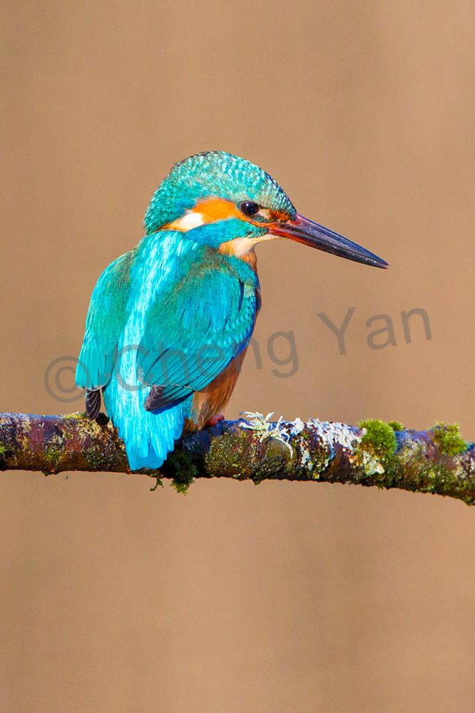 Kingfishers 037 Photography Art | Cheng Yan Studio