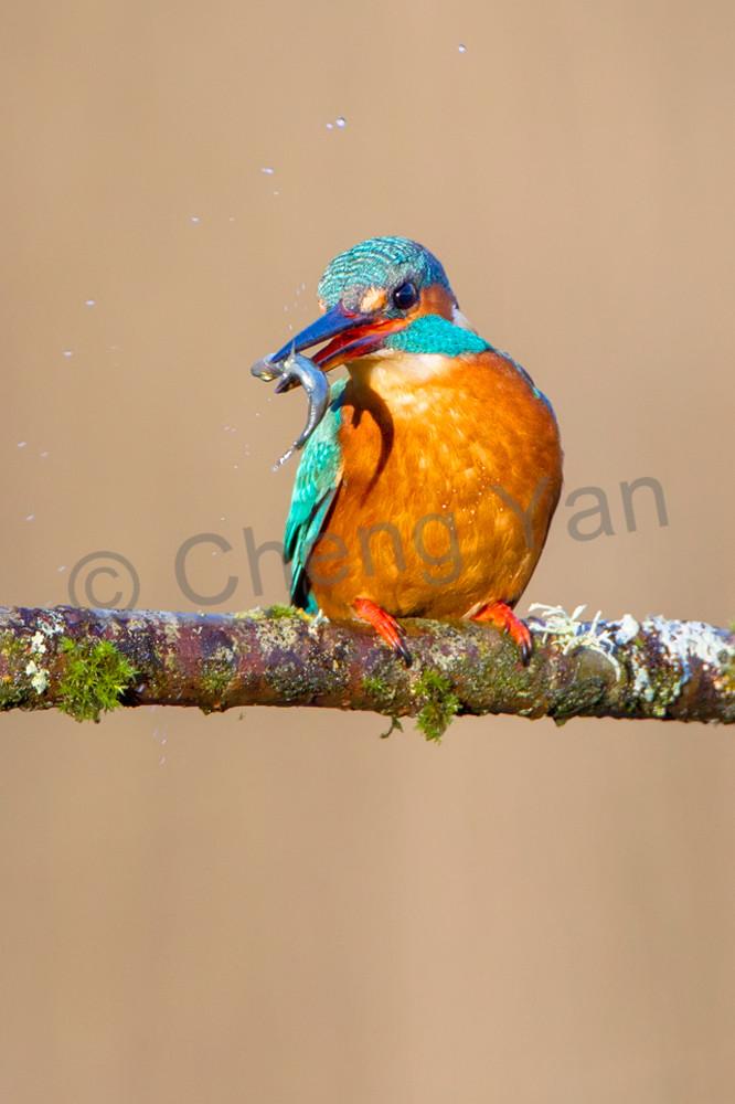 Kingfishers 039 Photography Art | Cheng Yan Studio
