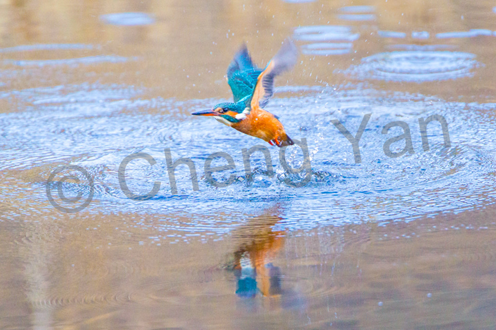 Kingfishers 041 Photography Art | Cheng Yan Studio