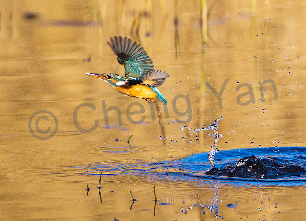 Kingfishers 043 Photography Art | Cheng Yan Studio