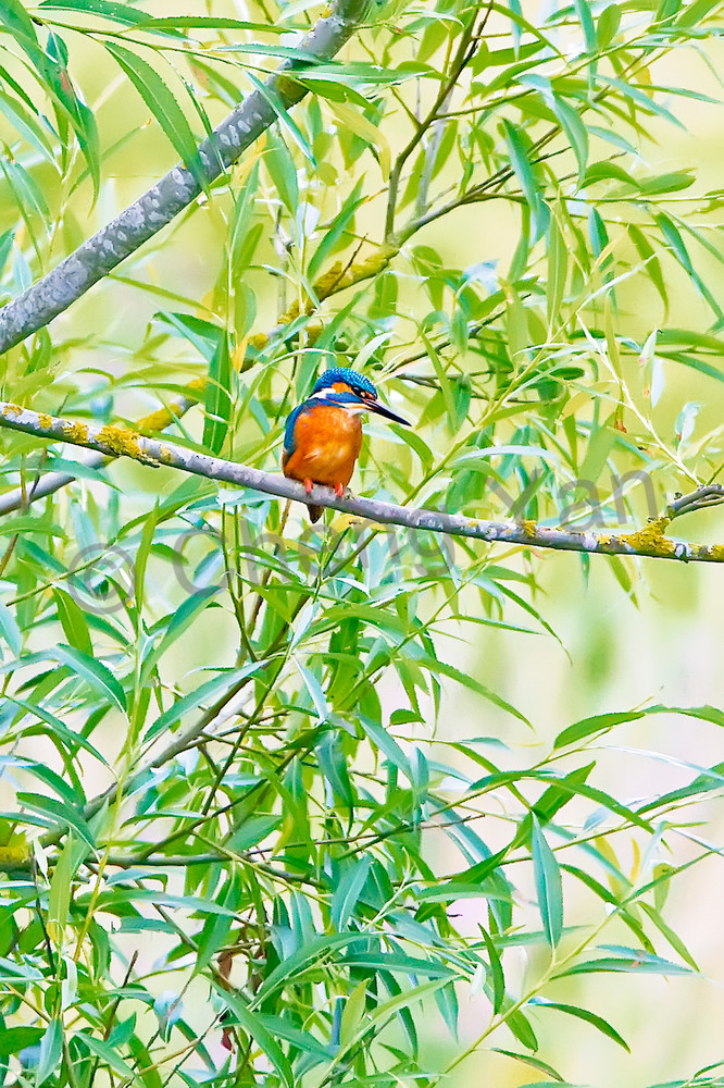 Kingfishers 044 Photography Art | Cheng Yan Studio