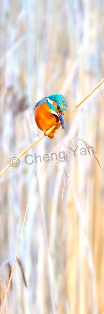 Kingfishers 055 Photography Art | Cheng Yan Studio
