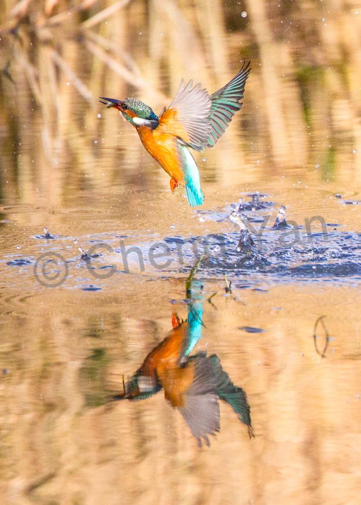 Kingfishers 051 Photography Art | Cheng Yan Studio