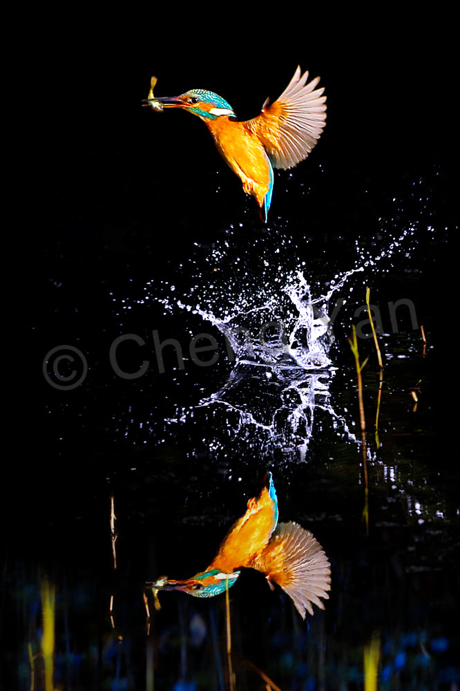 Kingfishers 067 Photography Art | Cheng Yan Studio