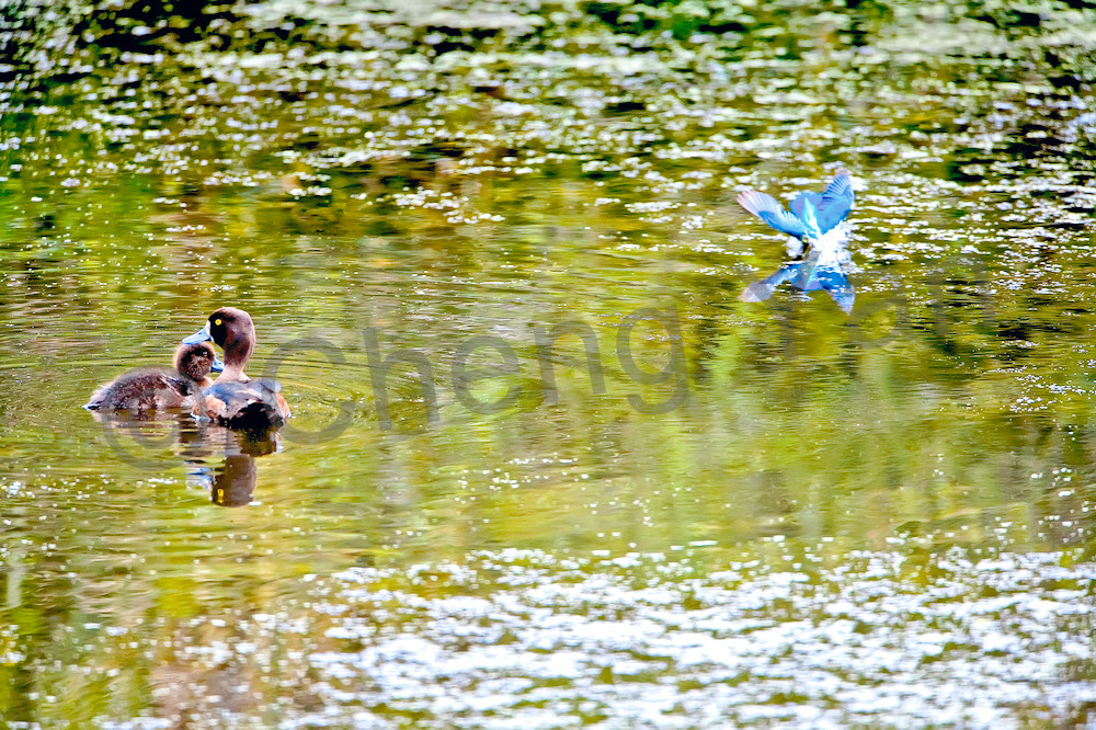 Kingfishers 069 Photography Art | Cheng Yan Studio