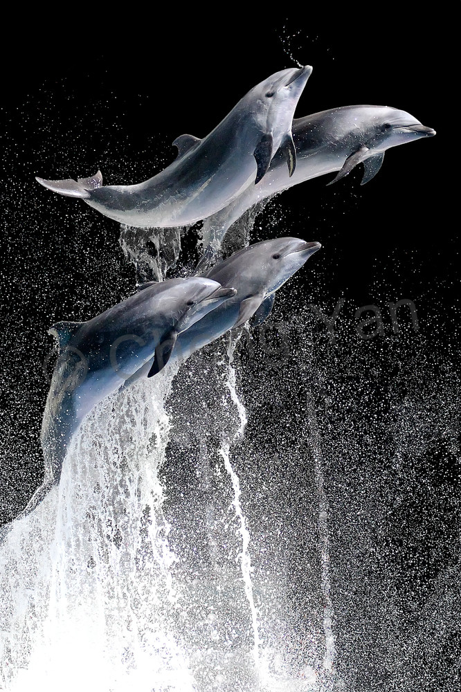 Dolphins 001 Photography Art | Cheng Yan Studio