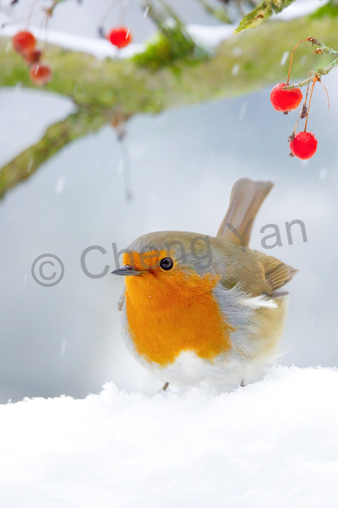 Robins 003 Photography Art | Cheng Yan Studio