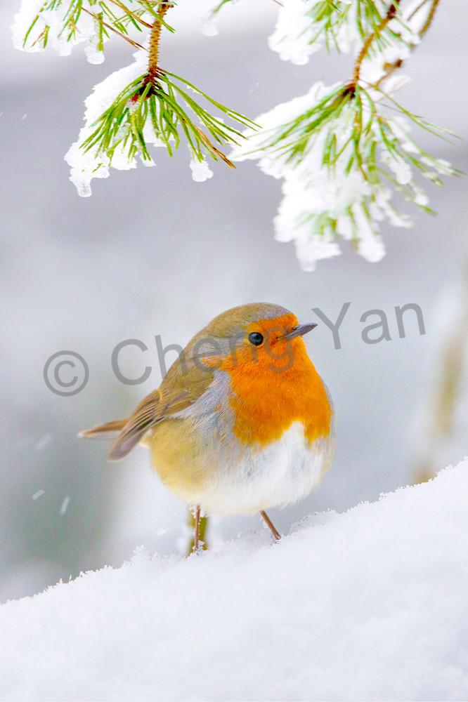 Robins 002 Photography Art | Cheng Yan Studio