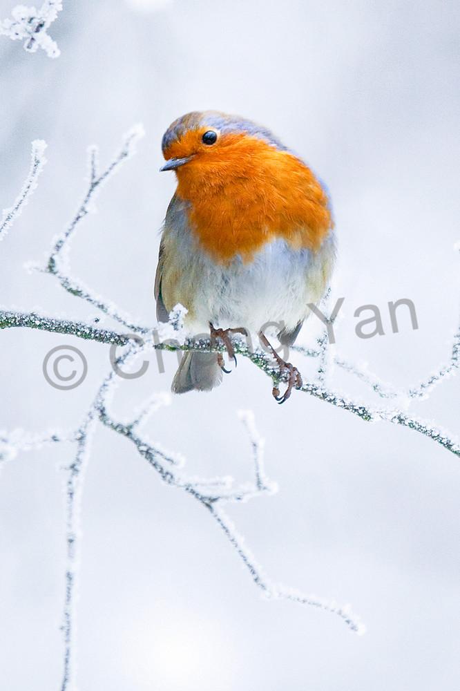 Robins 001 Photography Art | Cheng Yan Studio