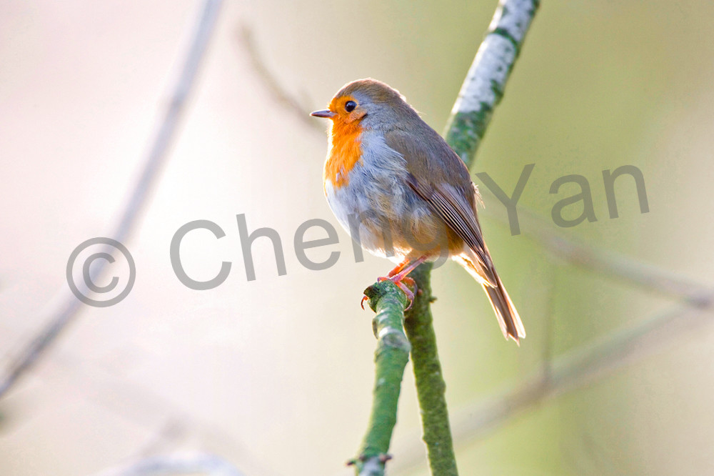 Robins 012 Photography Art | Cheng Yan Studio