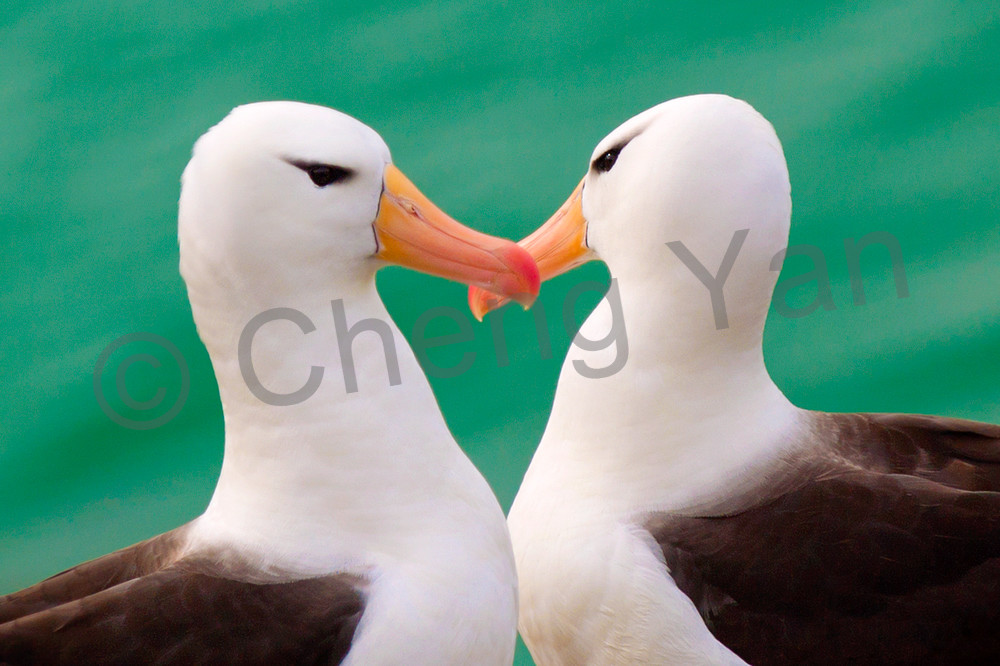 Albatross 001 Photography Art   Cheng Yan Studio