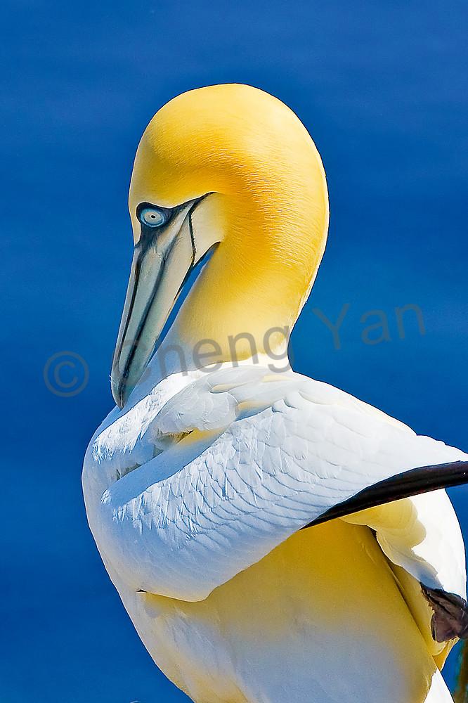 gannets-002