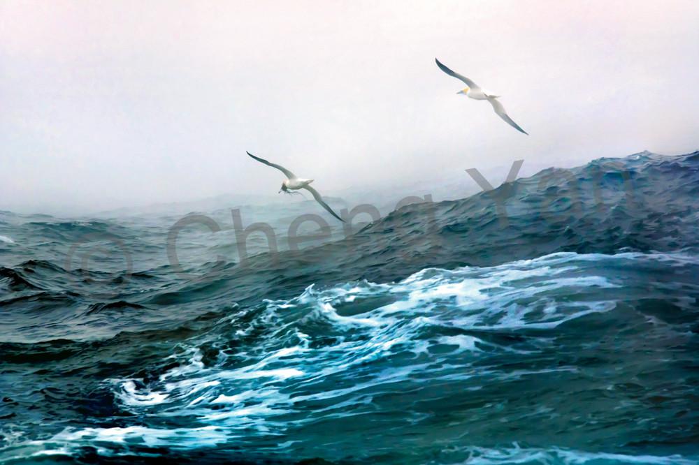 Gannets 005 Photography Art | Cheng Yan Studio