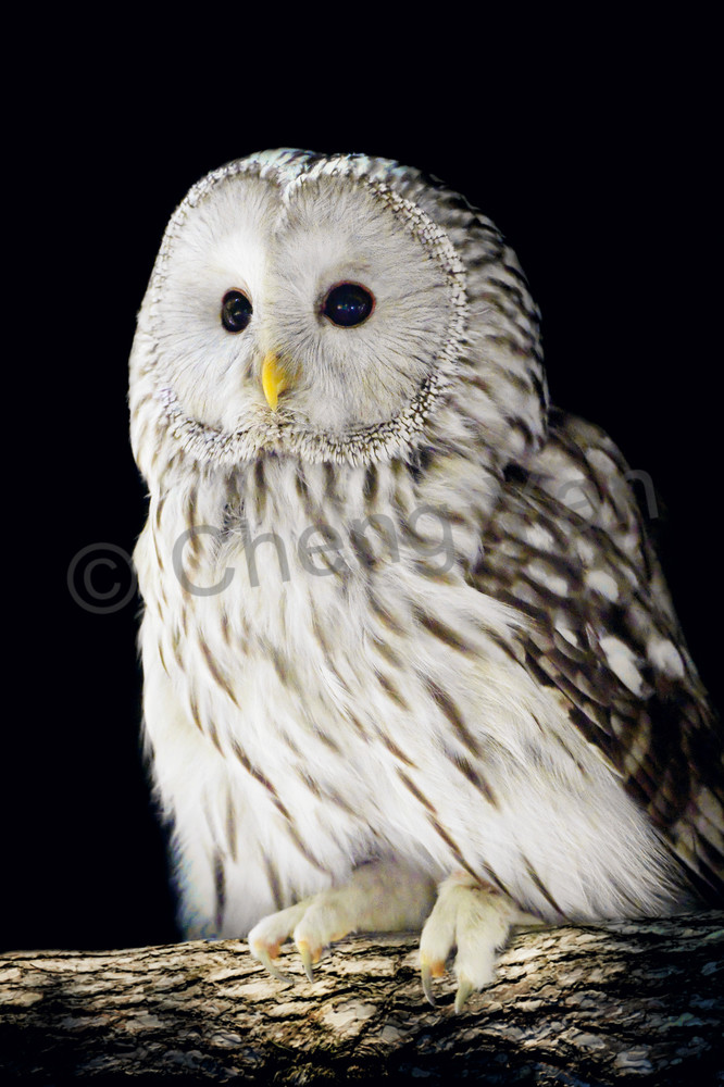 Owls 002 Photography Art | Cheng Yan Studio