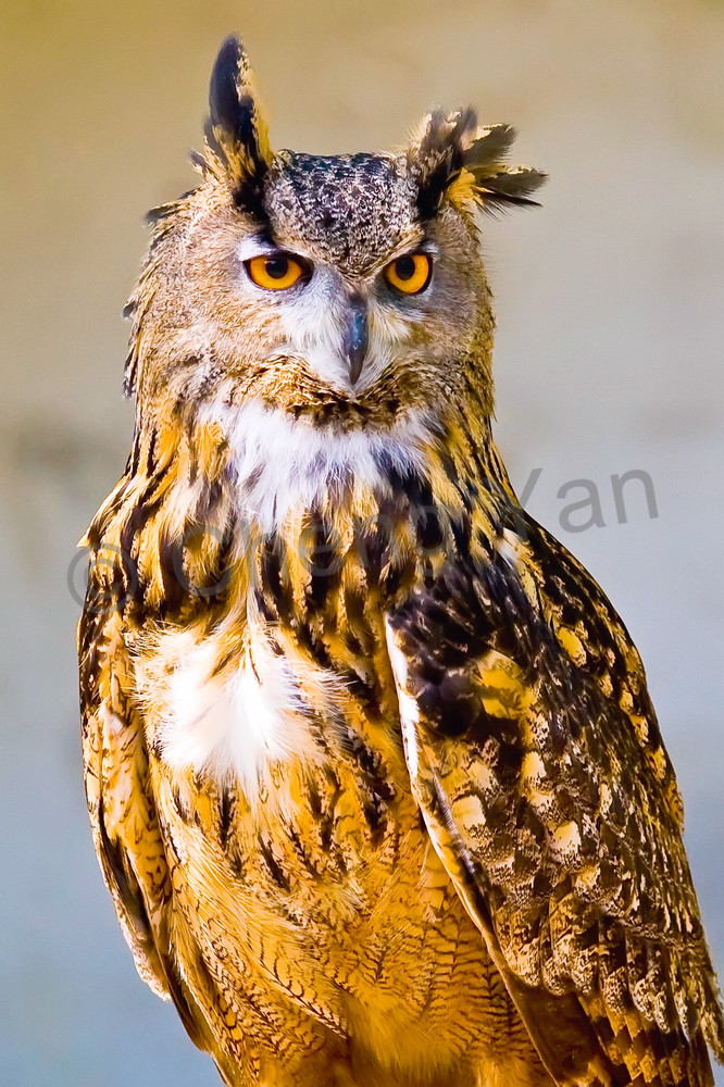 Owls 003 Photography Art | Cheng Yan Studio