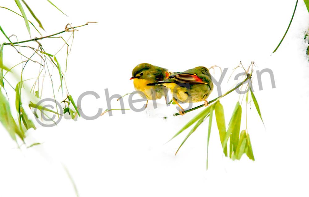 Pekin Robins And Chinese Birds 010 Photography Art   Cheng Yan Studio