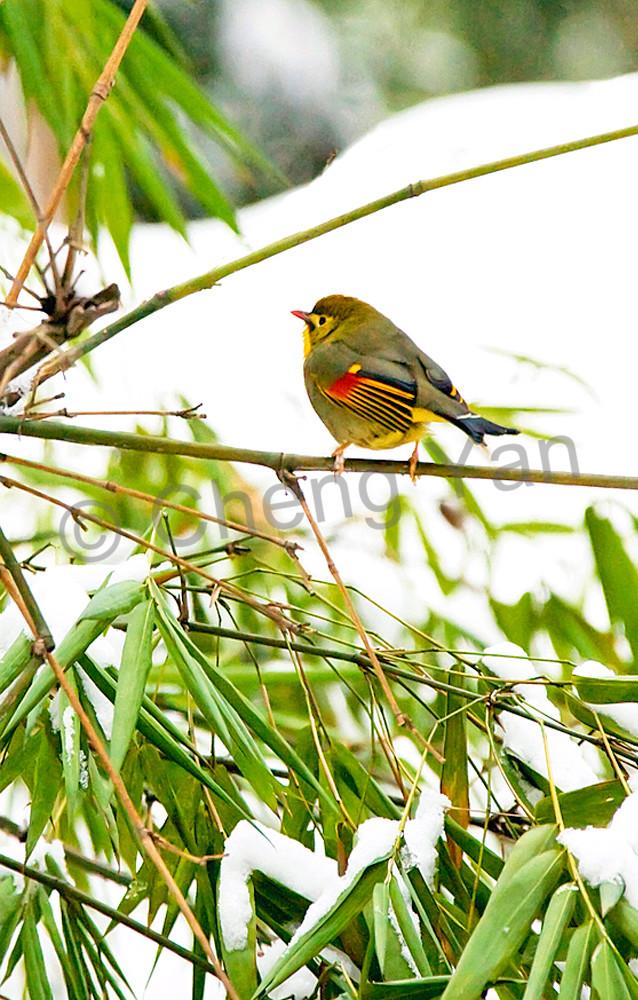 pekin-robins-and-chinese-birds-009