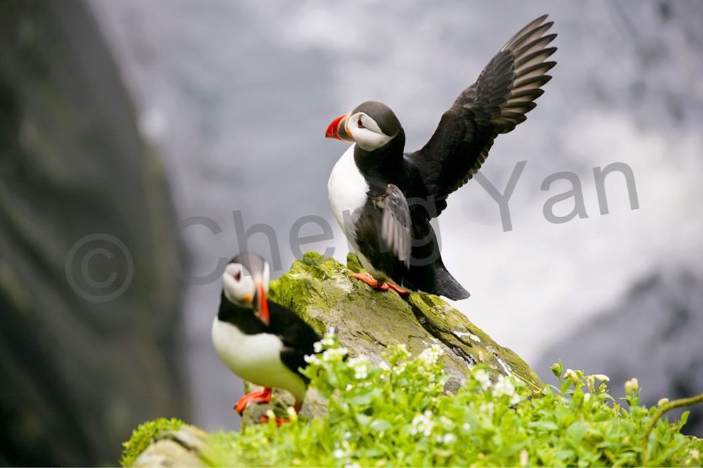 Puffins And Sea Birds 005 Photography Art   Cheng Yan Studio