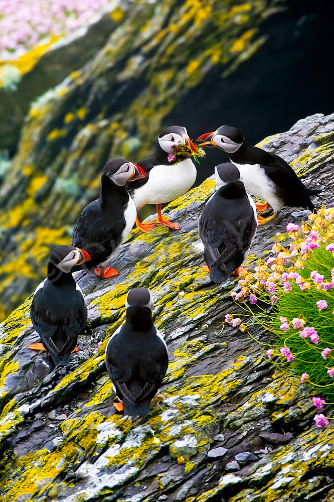 Puffins And Sea Birds 001 Photography Art | Cheng Yan Studio