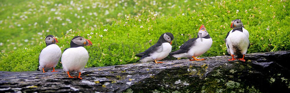 Puffins And Sea Birds 011 Photography Art | Cheng Yan Studio