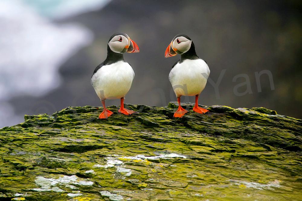Puffins And Sea Birds 007 Photography Art | Cheng Yan Studio