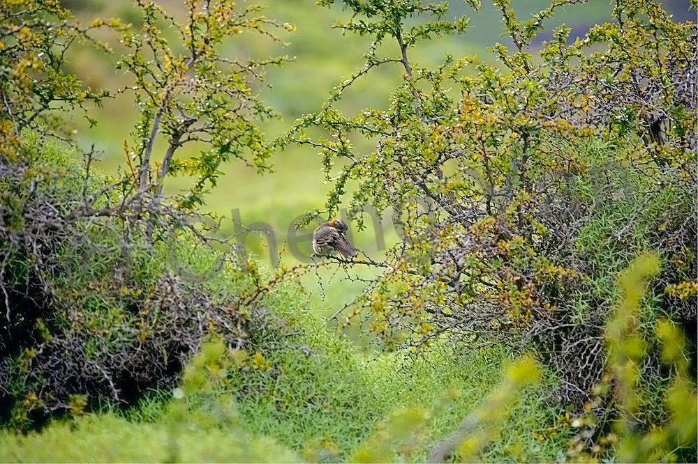 South American Birds 041 Photography Art | Cheng Yan Studio