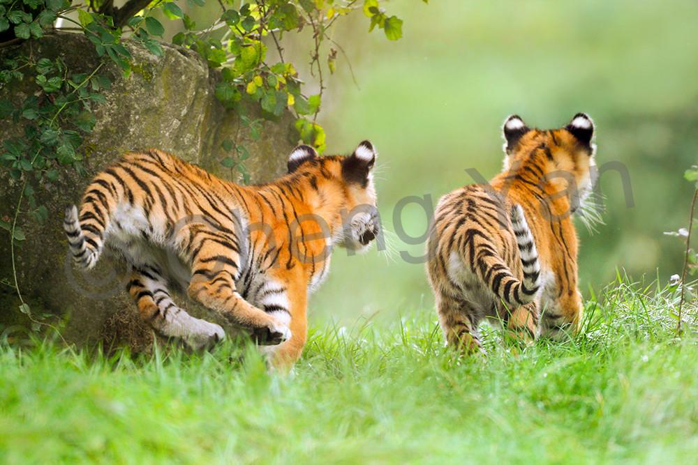 tiger20171
