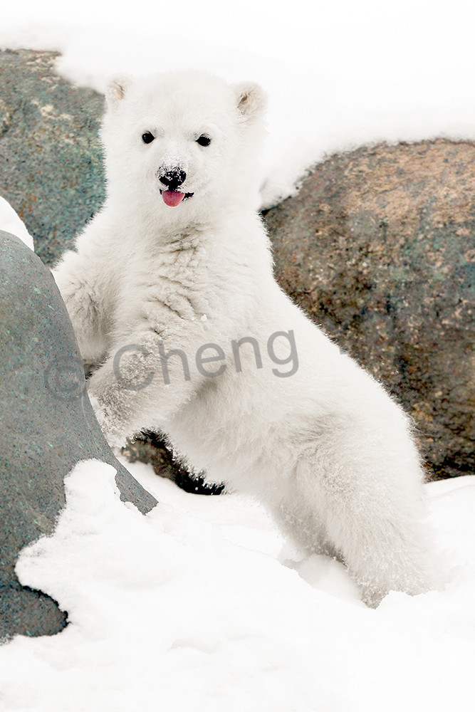 Polar-bear-20178