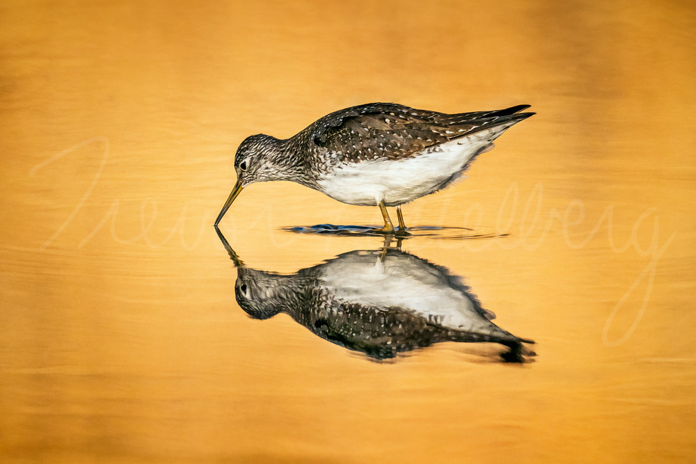 Solitary Sandpiper Photography Art | Trevor Pottelberg Photography