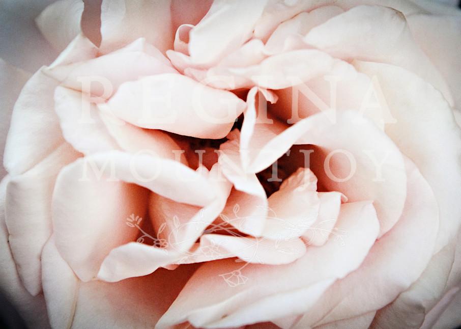 Enfold Rose