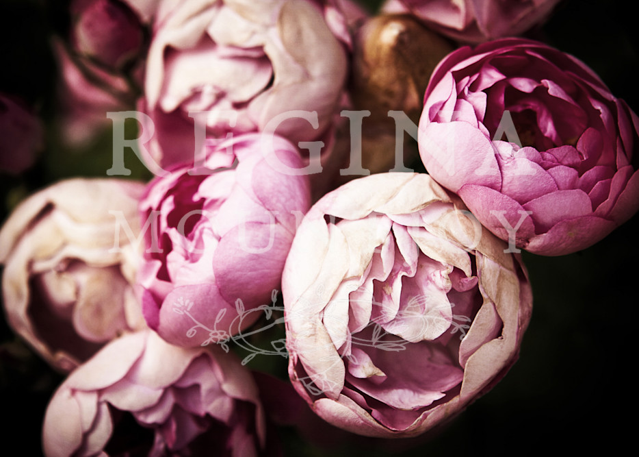 Pink Bourbon Roses