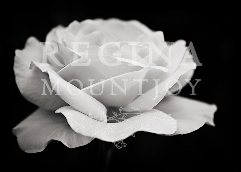 Rapture Rose