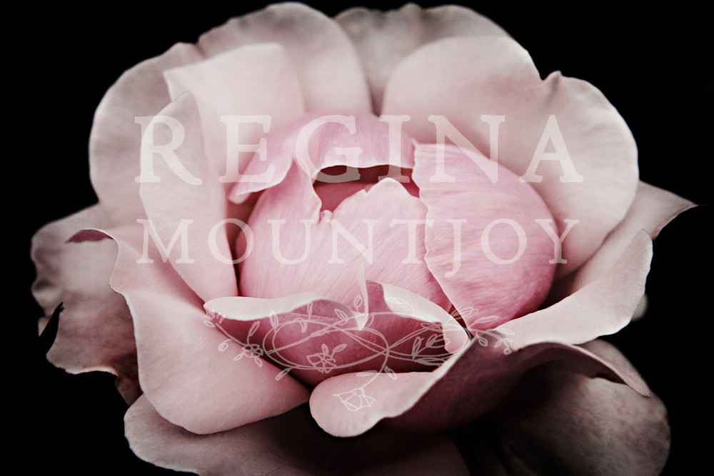 Unfurl Rose