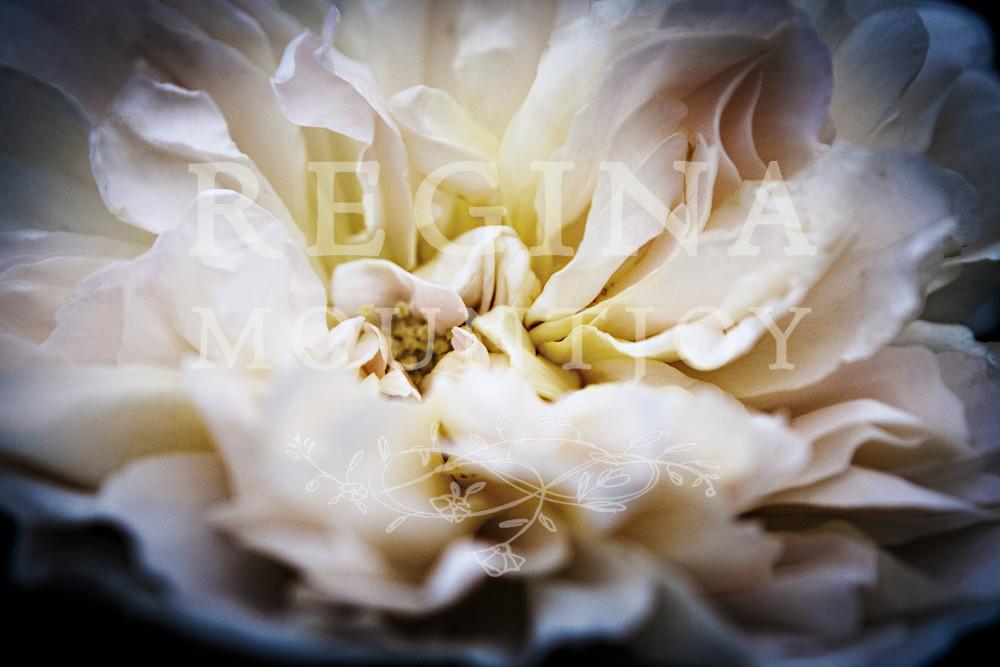 Embrace Rose